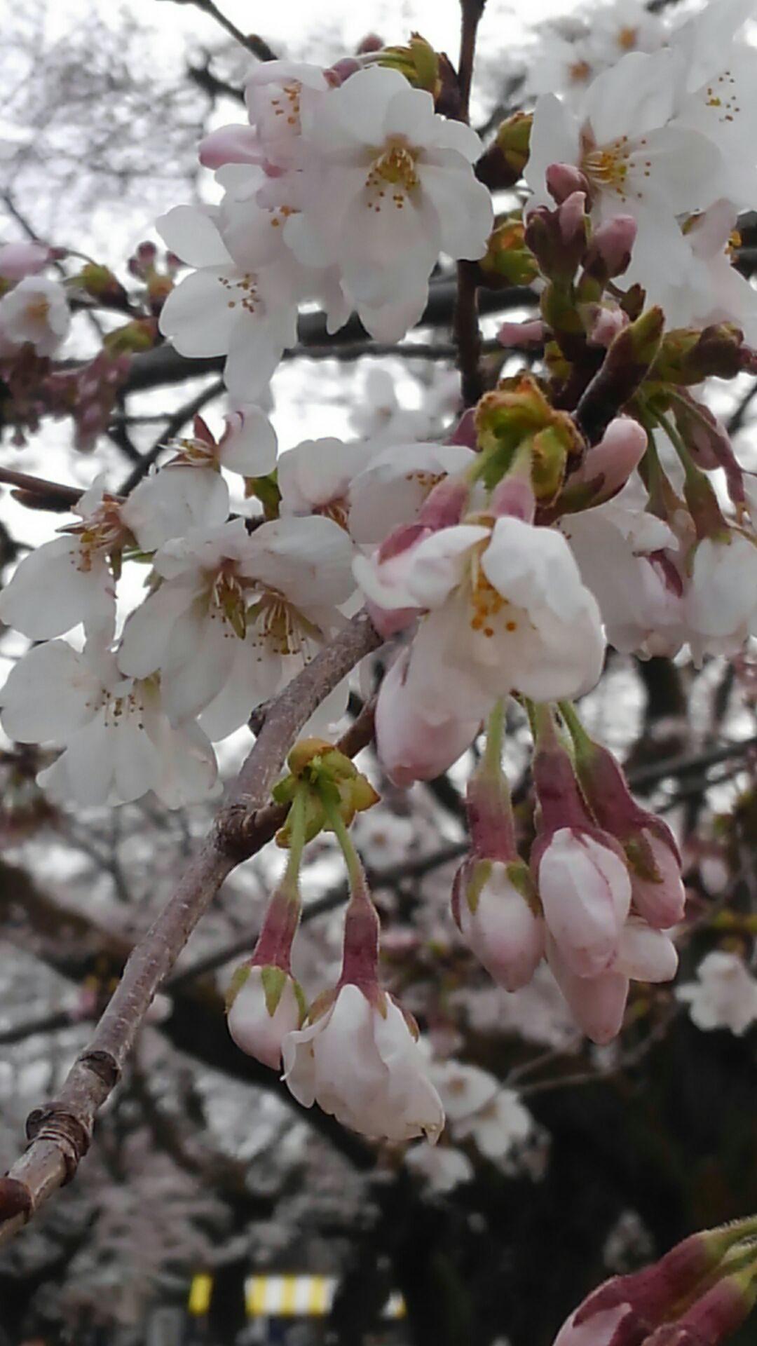 毎年お花見に行く小金井公園の桜
